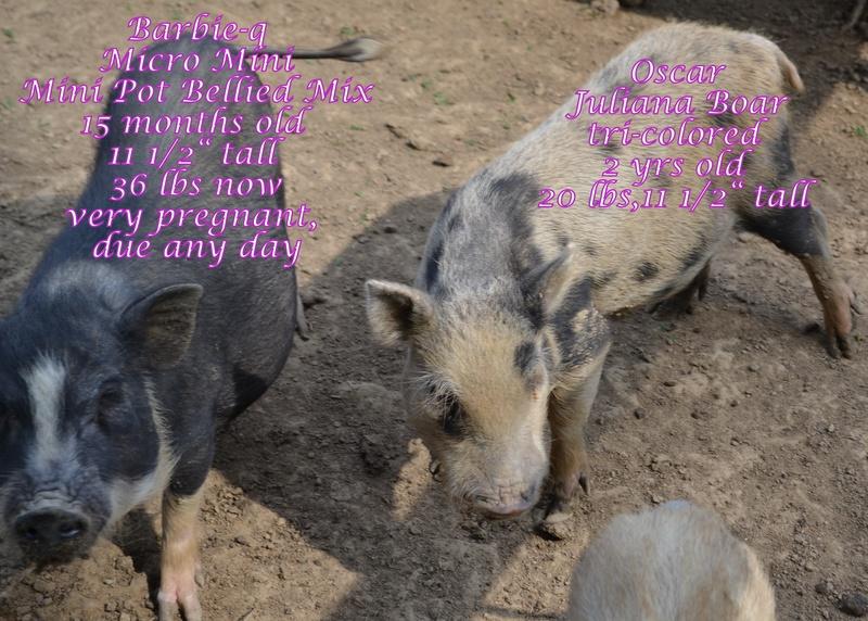 Juliana Amp Micro Mini Pigs At Ahrens Hobby Farm Pg 2