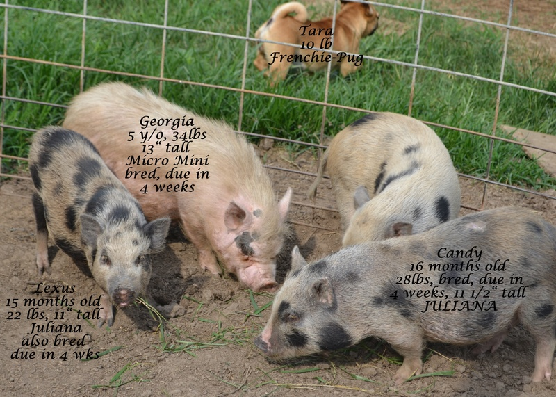 farm hog vs mini pig Hog production alternatives:  netvet for pigs - veterinary guide online for pigs, health, genetics, farm, pets/other, and commercial  planning - a manure management plan brings together information about crops, livestock, and manure handling for your farm other swine resources.